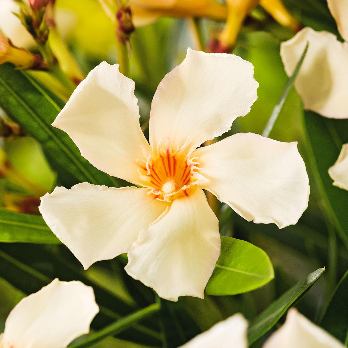 Oleander Busch, gelb, im ca. 20 cm-Topf