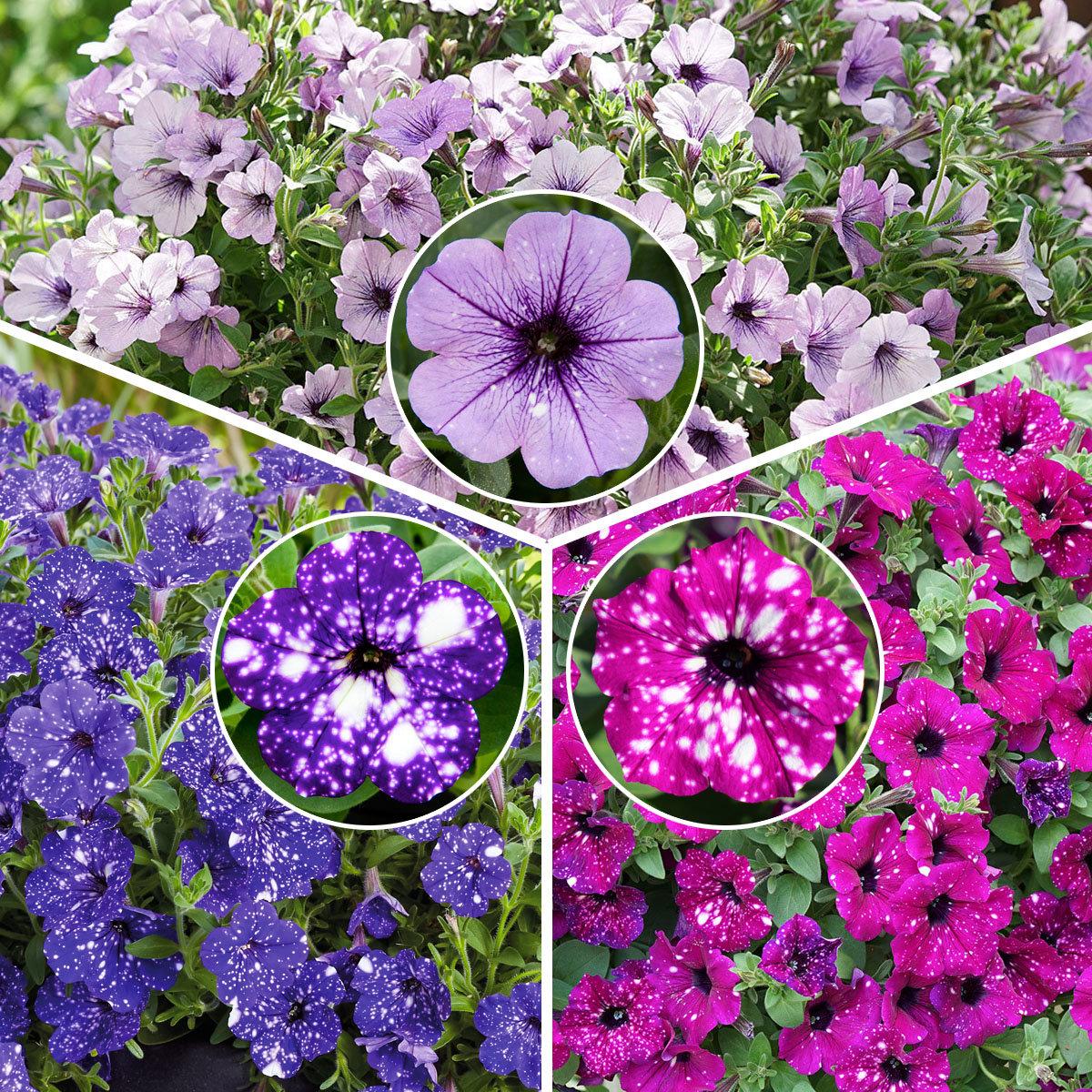 Sommerblumen-Set Petunien-Trio Bunter Sternenhimmel, im ca. 12 cm-Topf