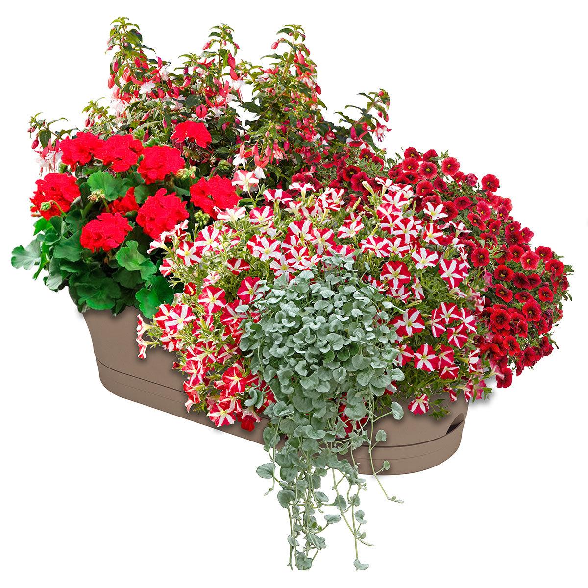 Sommerblumen-Set Rotkäppchen, im ca. 11/12 cm-Topf