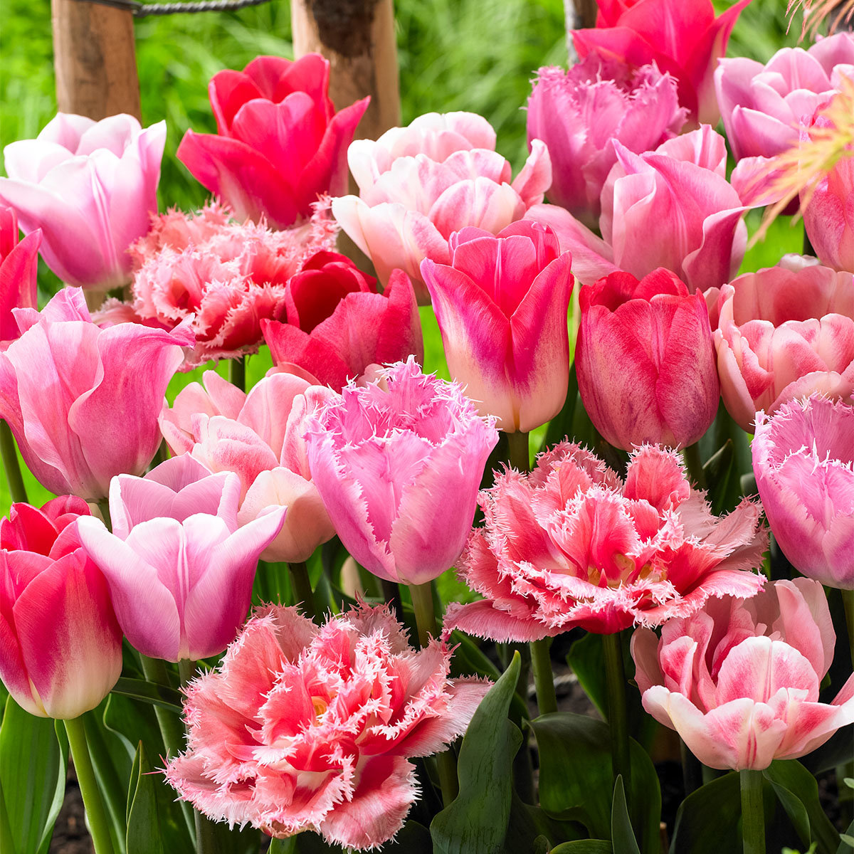Tulpen-Mischung Forever Pink