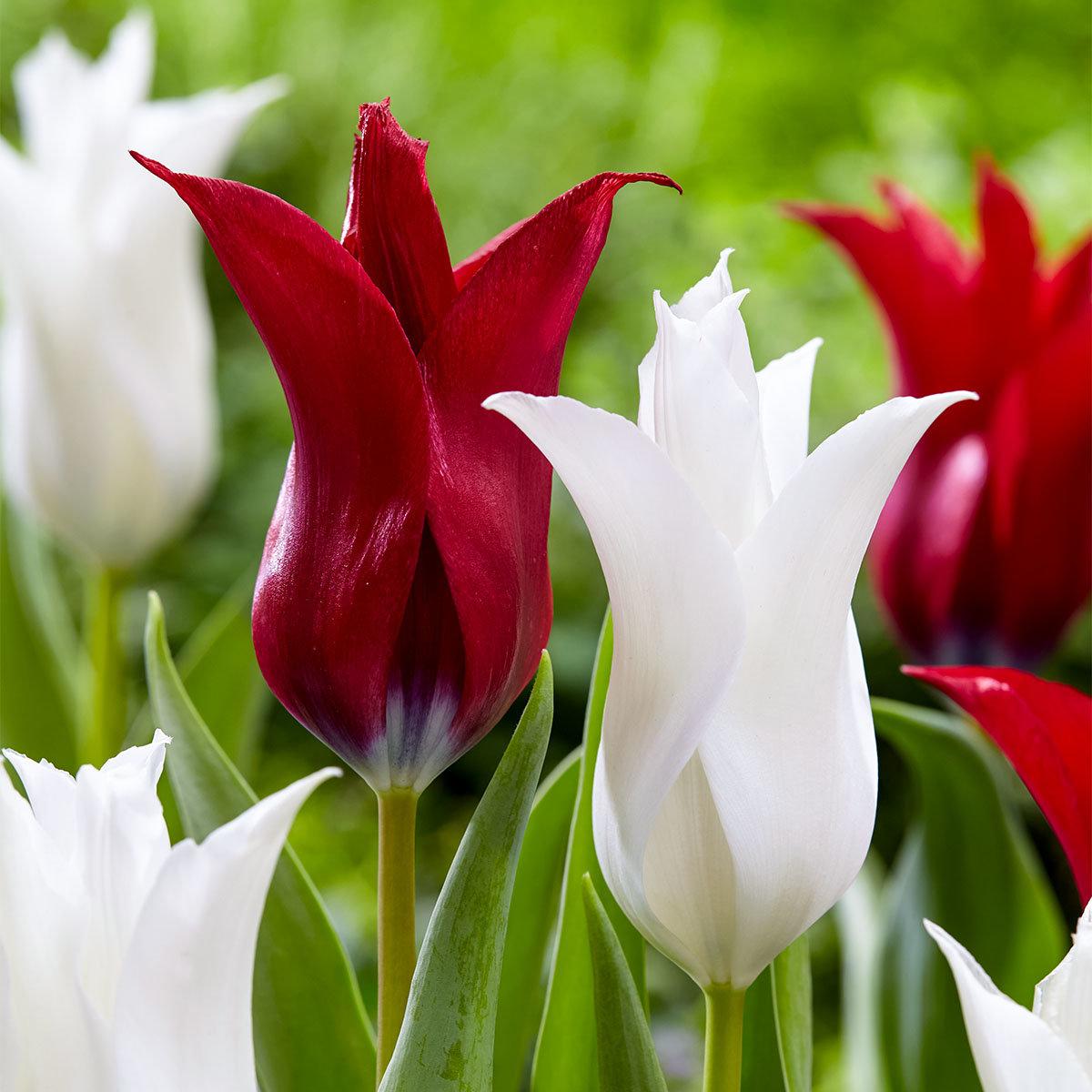 Tulpen-Mischung C'est Chic