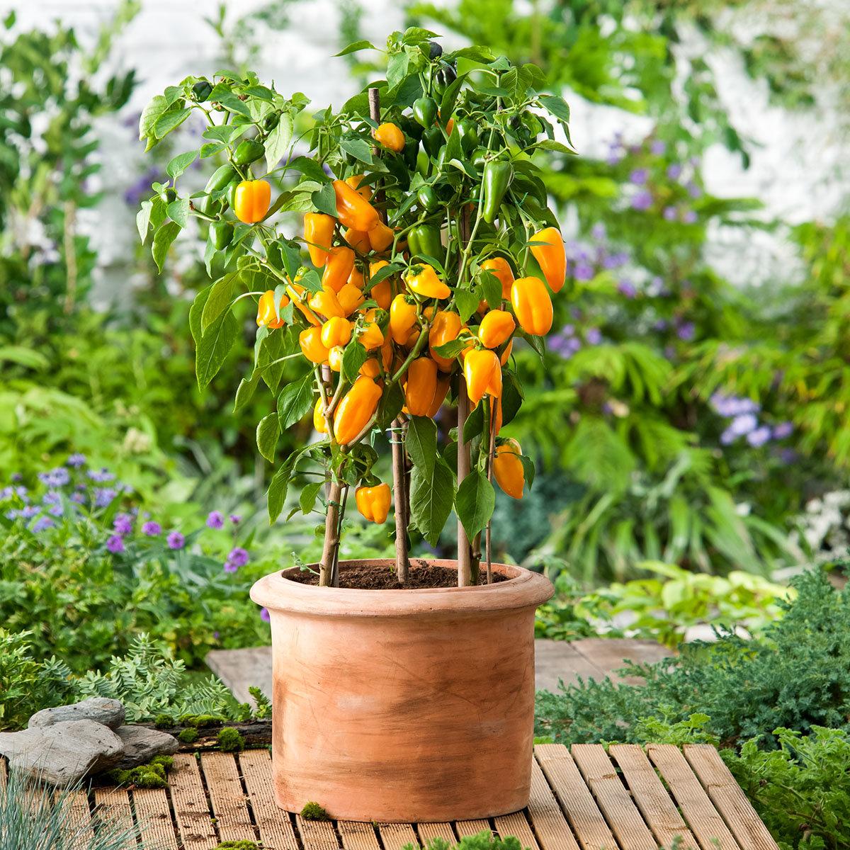 Paprikapflanze Snackpaprika Lubega Mini Yellow, veredelt, im ca. 11 cm-Topf