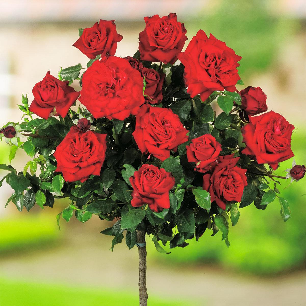 Roter Rosen-Stamm, im ca. 26 cm-Topf