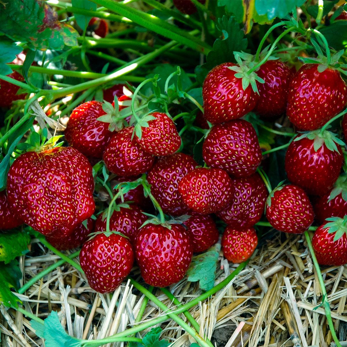 Erdbeere Aroma Auslese, Pflanzware 2x6er Tray, im ca. 7 cm-Topfballen