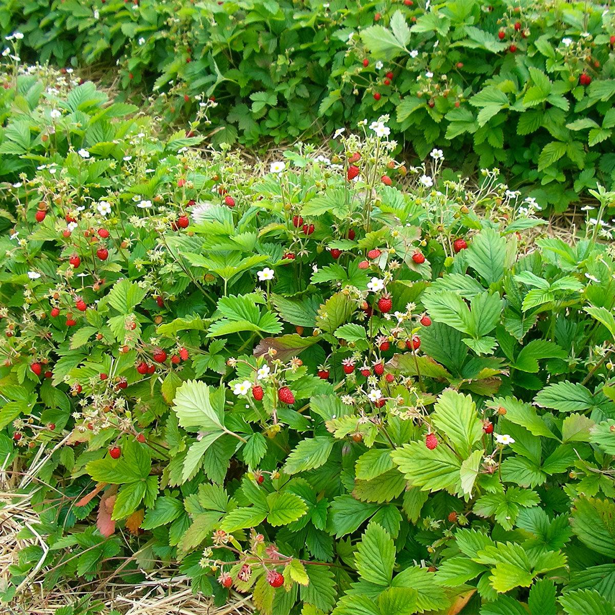 Erdbeere Waldfee, im ca. 9 cm Topf