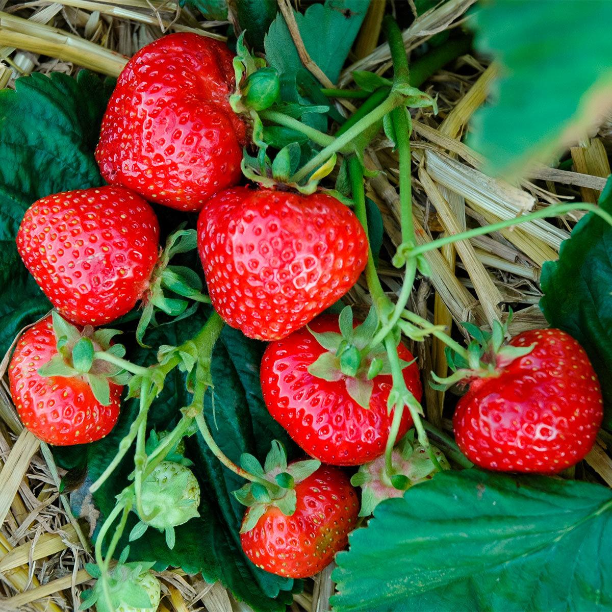 Erdbeere Herzle 12er-Set, im ca. 7 cm-Topf