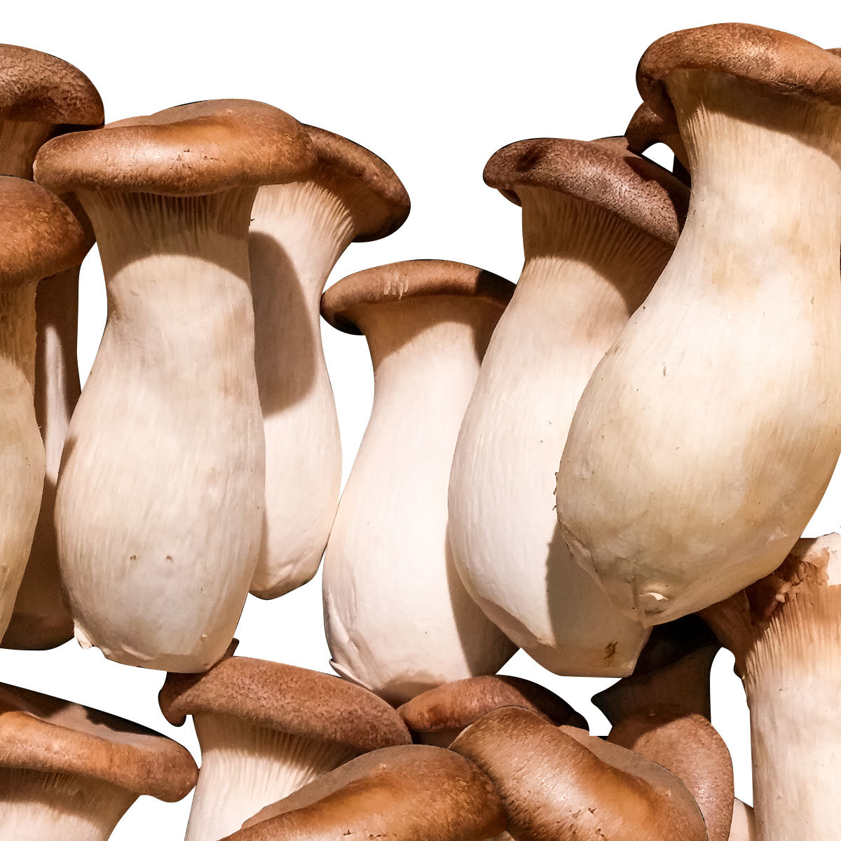 Dübel-Pilzkultur Kräuterseitling