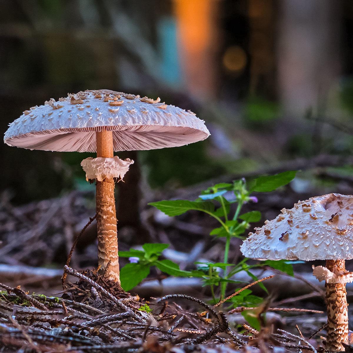 Waldgartenpilzkultur Parasol
