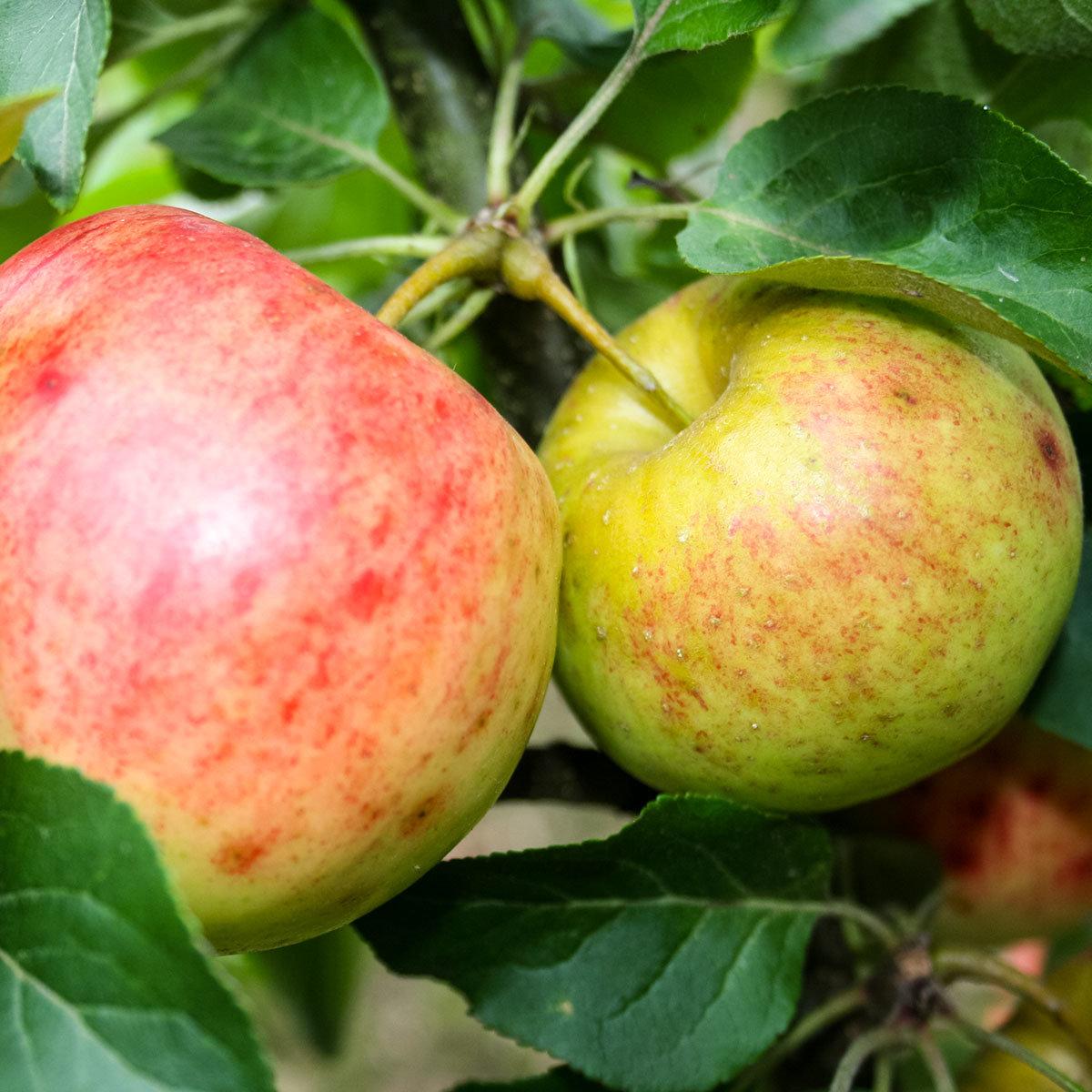 Zwergobst Apfel Galina, im ca. 26 cm-Topf