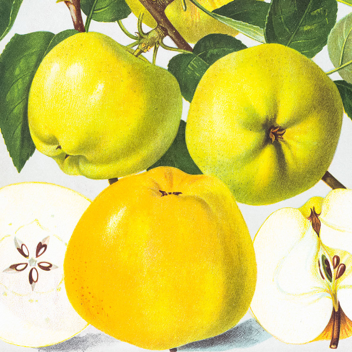 Apfel Signe Tillisch, im ca. 28 cm-Topf