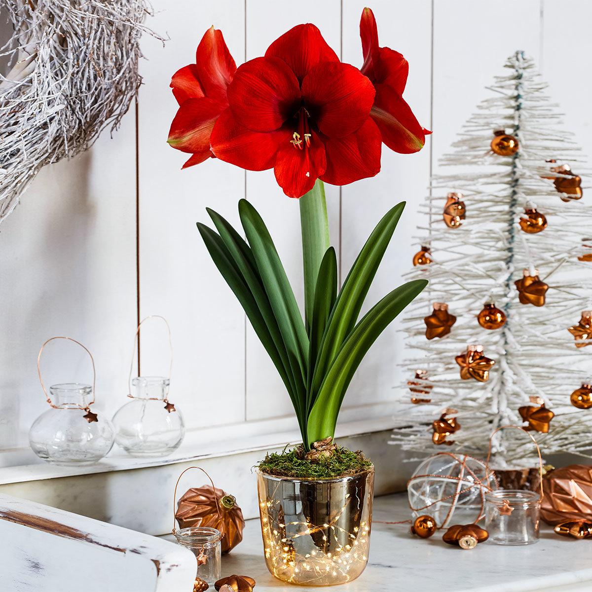 Amaryllis-Set: Amaryllis, Acrylglas-Vase, Moos, LED-Lichterkette, mit Batterien