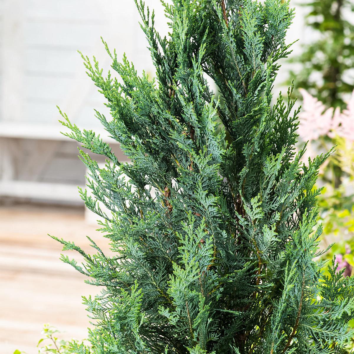 Großgebinde Gartenzypresse 80 - 100 cm, 100 Pflanzen