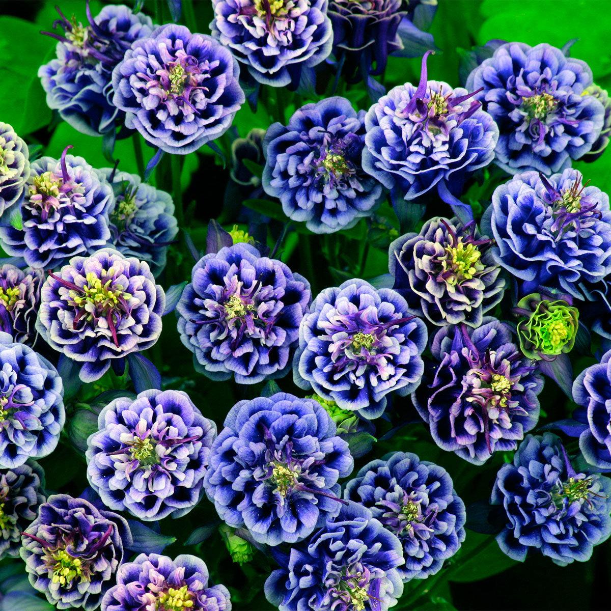 Garten-Akelei Winky Blue and White