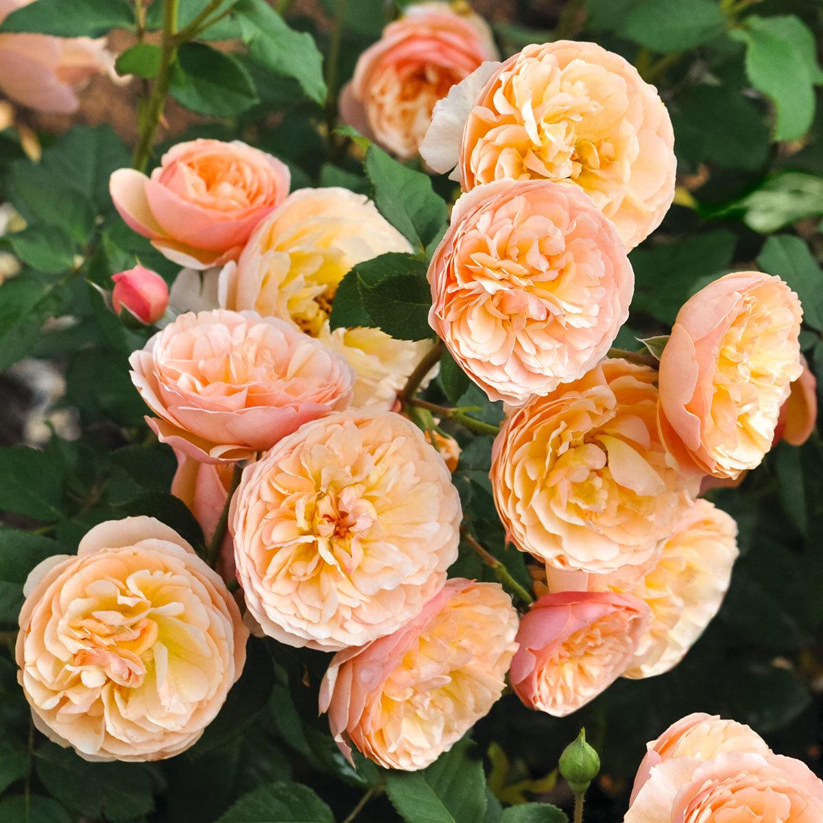 Essbare Culinaric Rose, orange-rosé, im ca. 22 cm-Topf