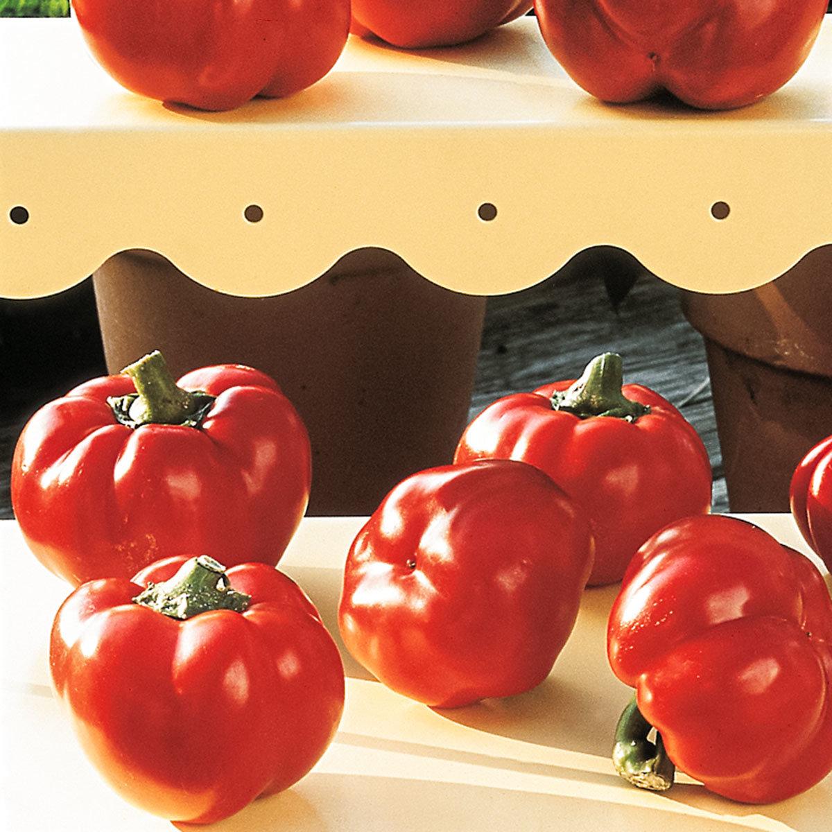 Paprikapflanze Ungarische Tomatenpaprika, veredelt, im ca. 11 cm-Topf