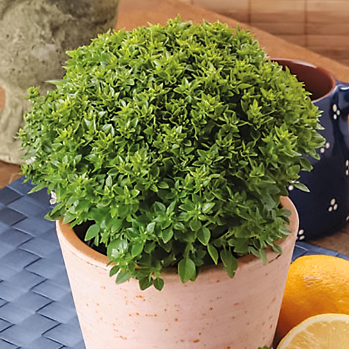 Basilikumpflanze Piccolino, im ca. 12 cm-Topf