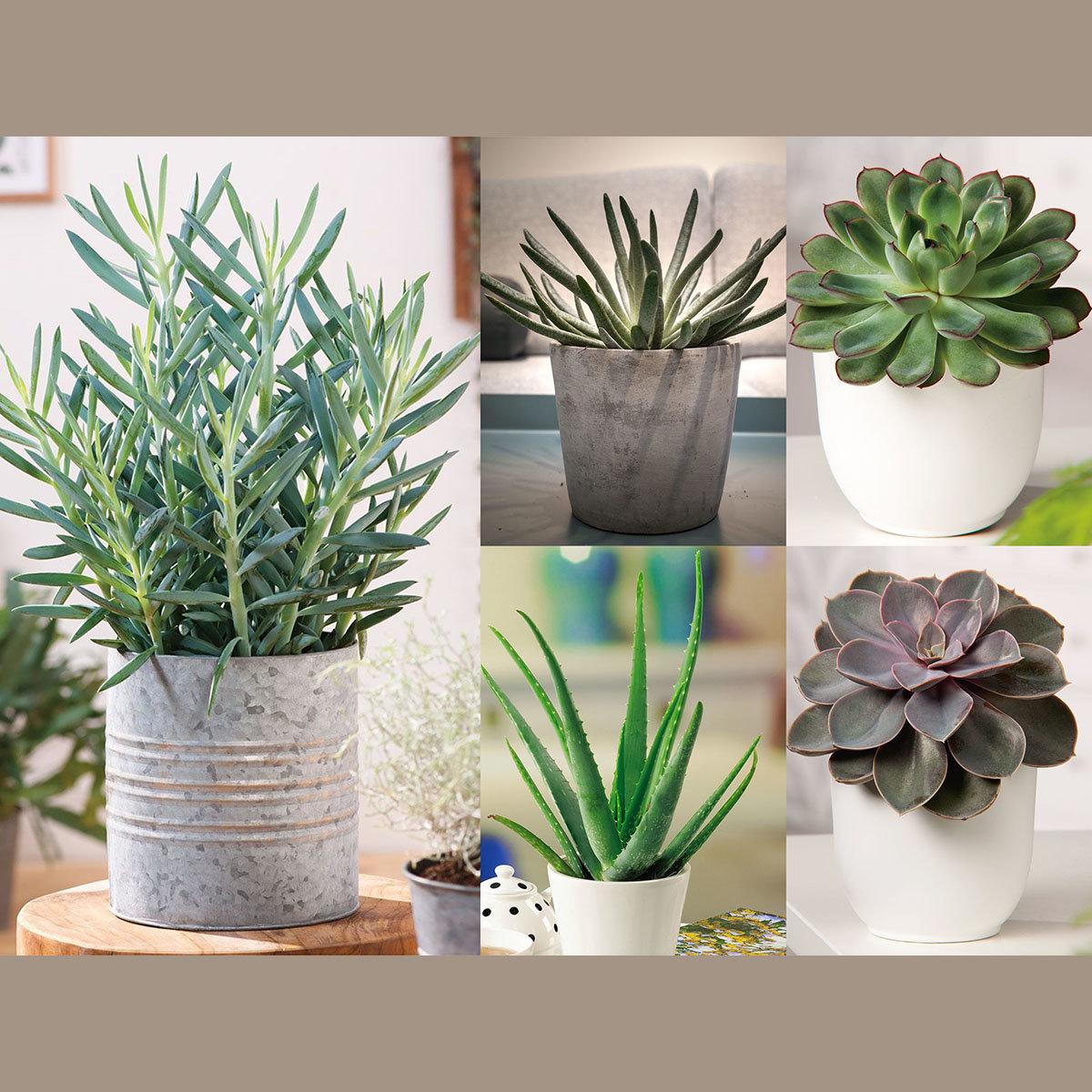Zimmerpflanzen-Sortiment Sukkulenten