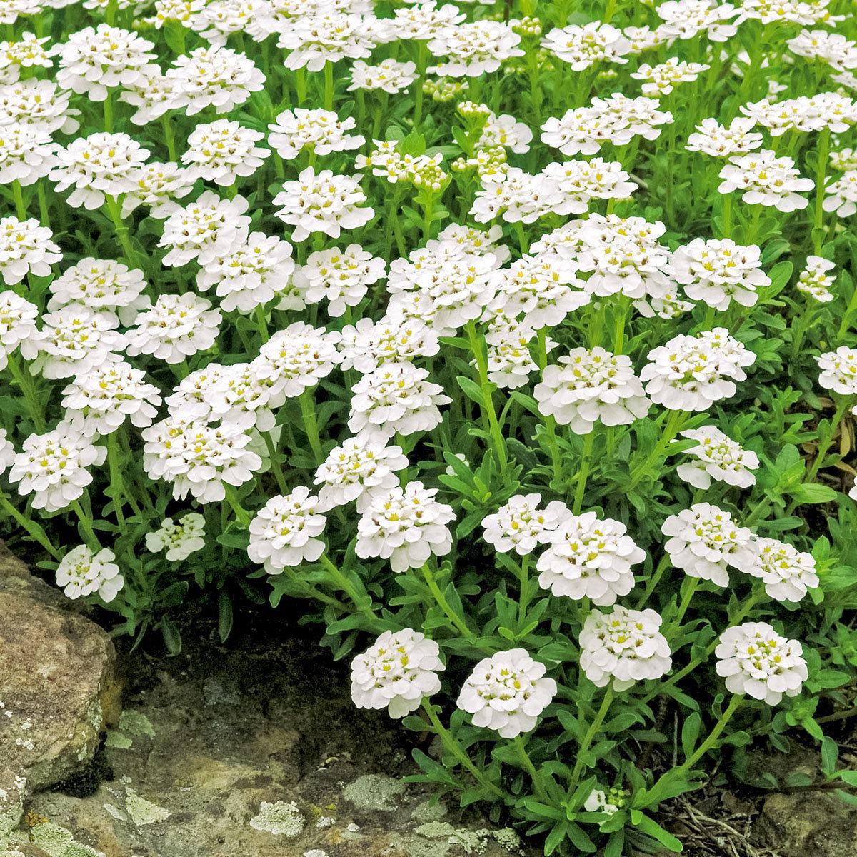 Immergrüne Schleifenblume, weiß, im ca. 9 cm-Topf