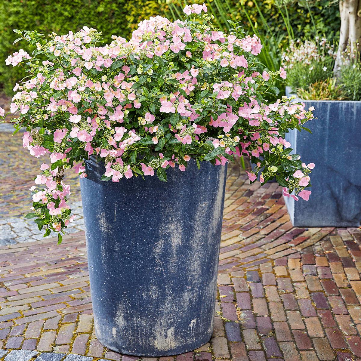 Gartenhortensie French Bolero, rosa, im ca. 13 cm-Topf
