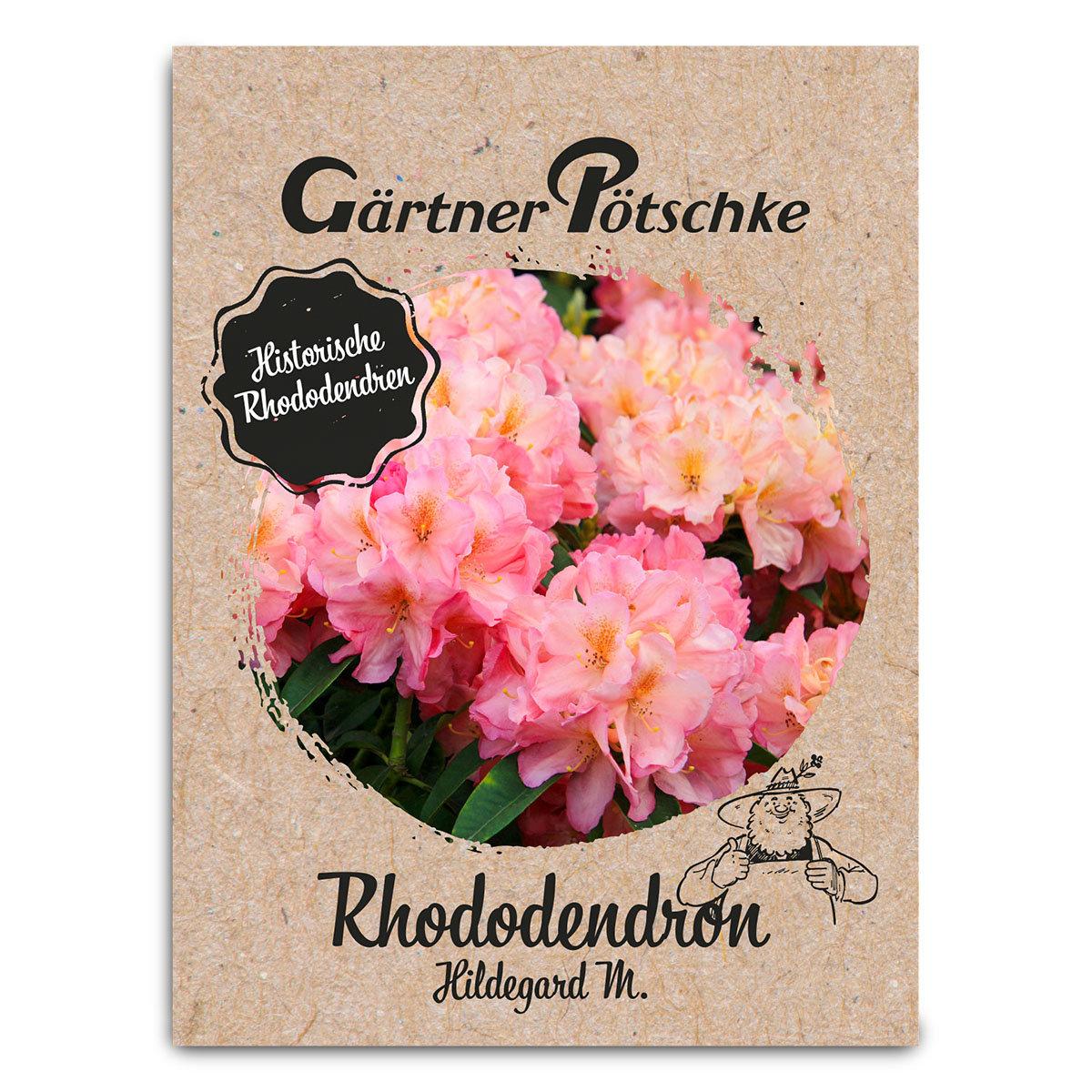 Historischer Rhododendron Hildegard M., im ca. 23 cm-Topf