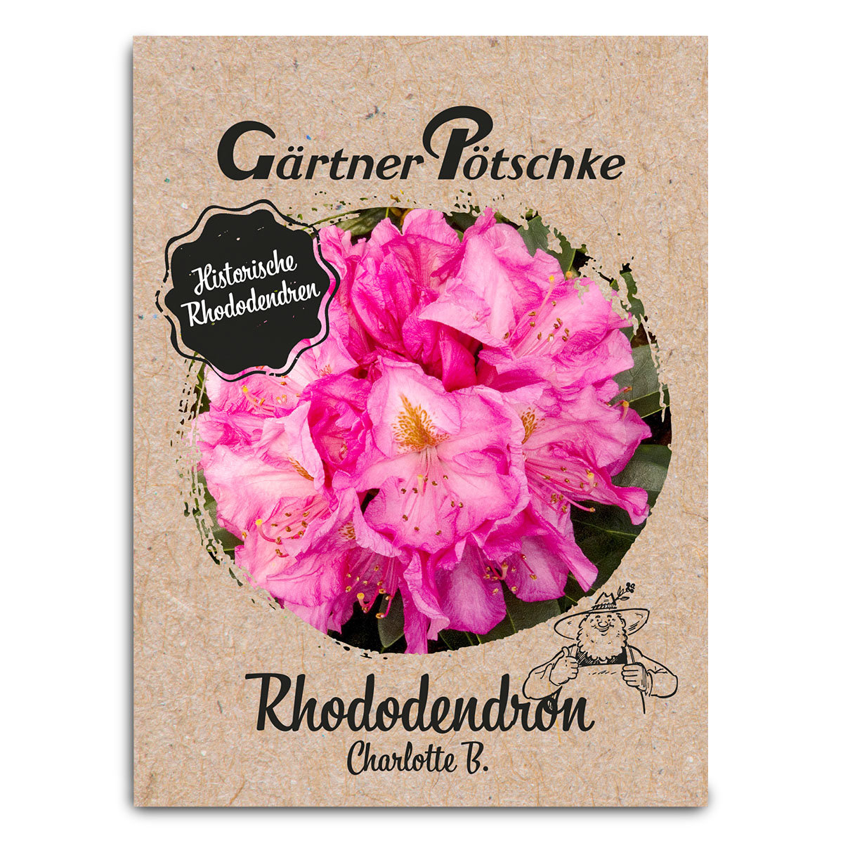 Historischer Rhododendron Charlotte B., im ca. 23 cm-Topf