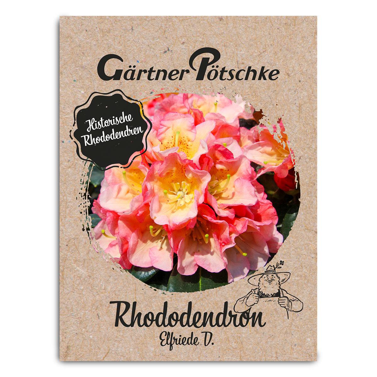Historischer Rhododendron Elfriede D., im ca. 23 cm-Topf