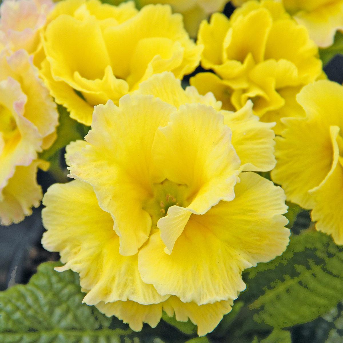 Rosen-Primel Girl's Delight Lemon Shades®, 3 Stück, im ca. 10,5 cm-Topf