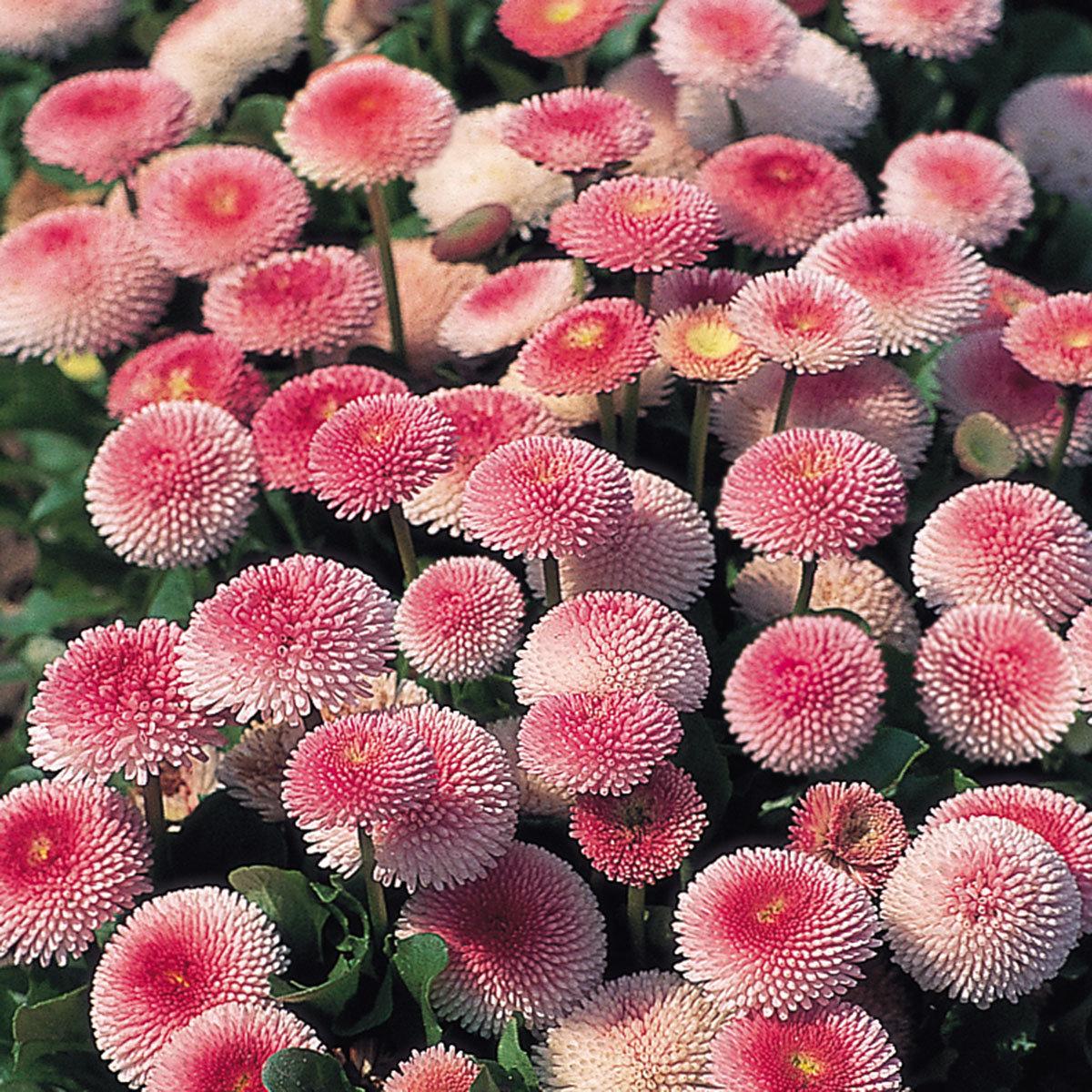 Gänseblümchen Tasso Strawberries & Cream, im ca. 13 cm-Topf
