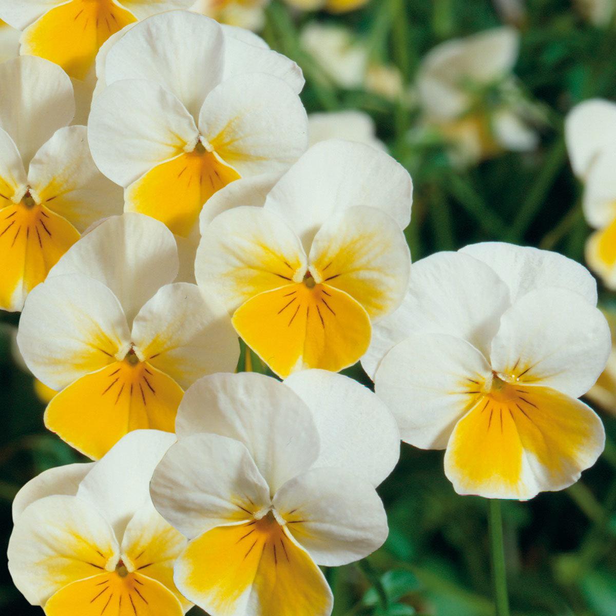 Mini-Winterveilchen Ice Babies® Cream Yellow Lip, 3 Stück, im ca. 10,5 cm-Topf