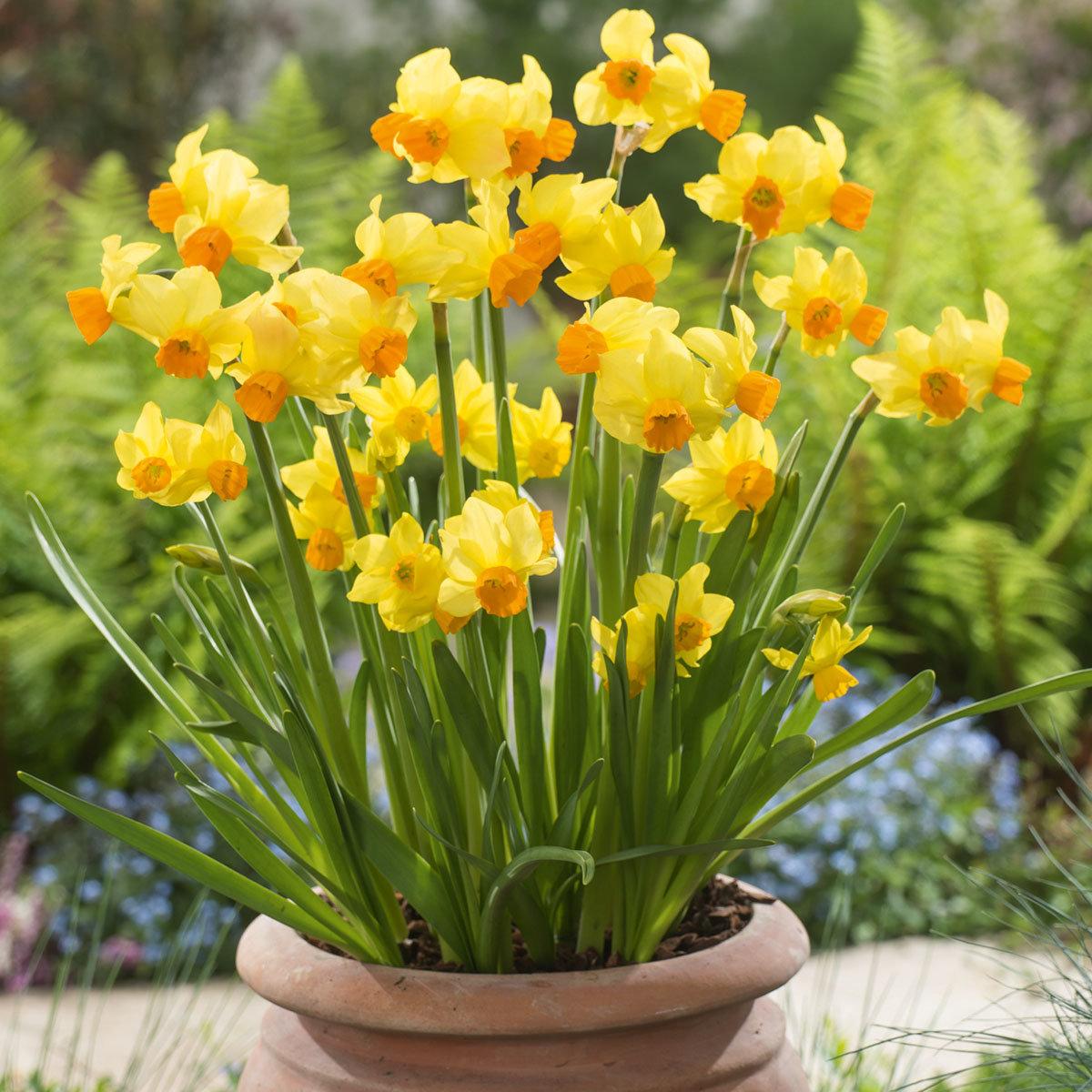 Gelbe Mini Narzisse, 3 Stück, im ca. 10,5 cm-Topf