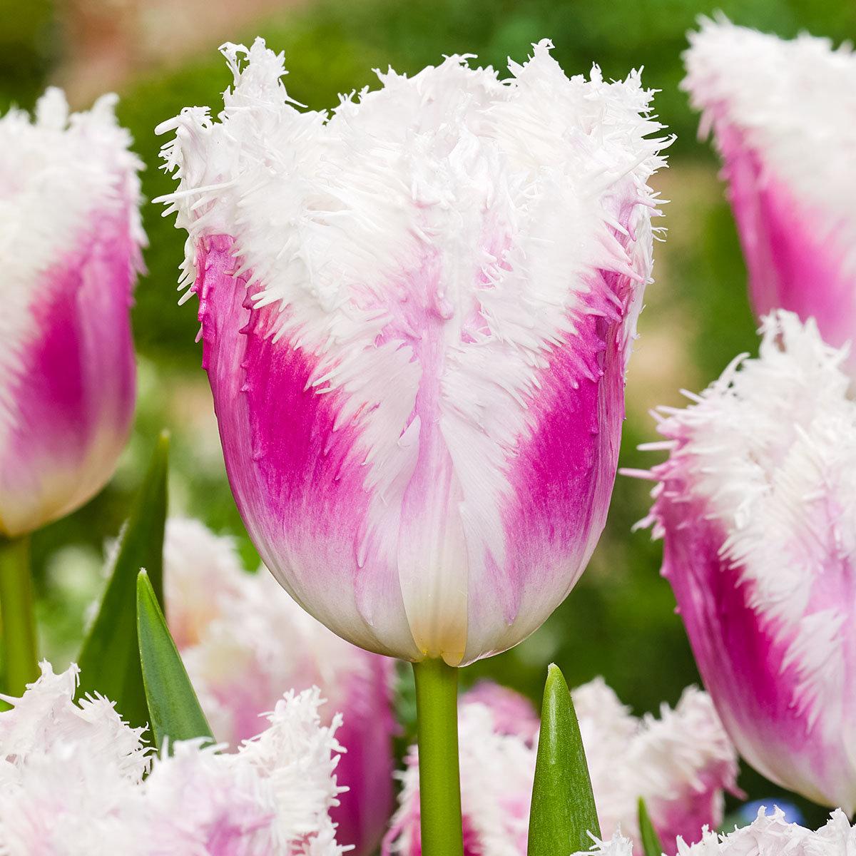 Tulpe Hawaii