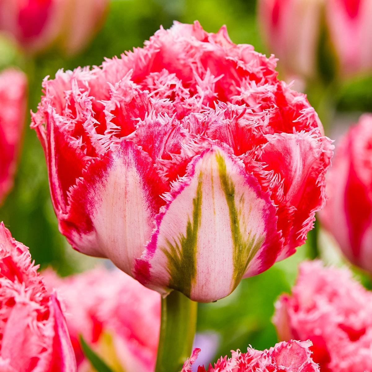 Tulpe Ranomi