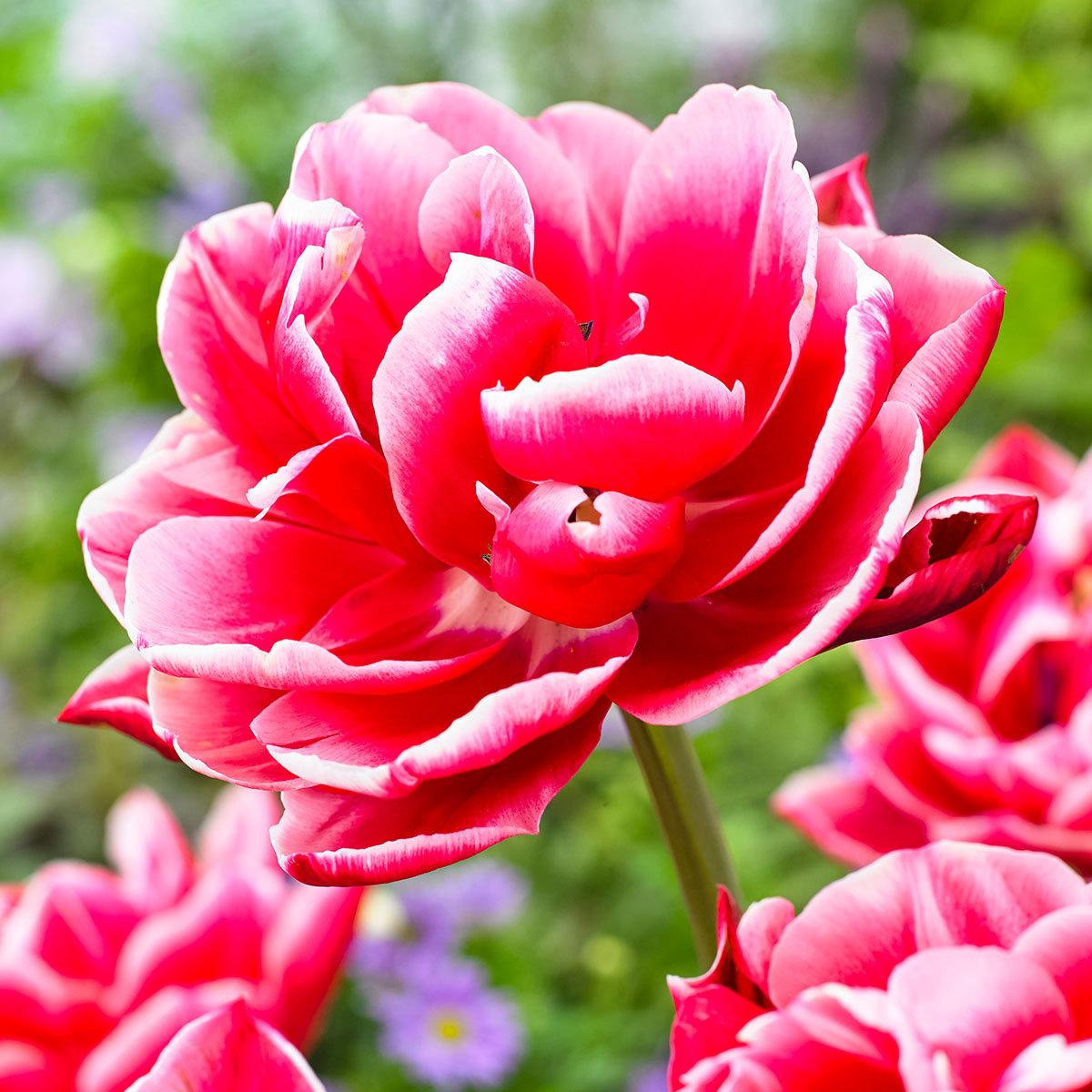 Tulpe Columbus