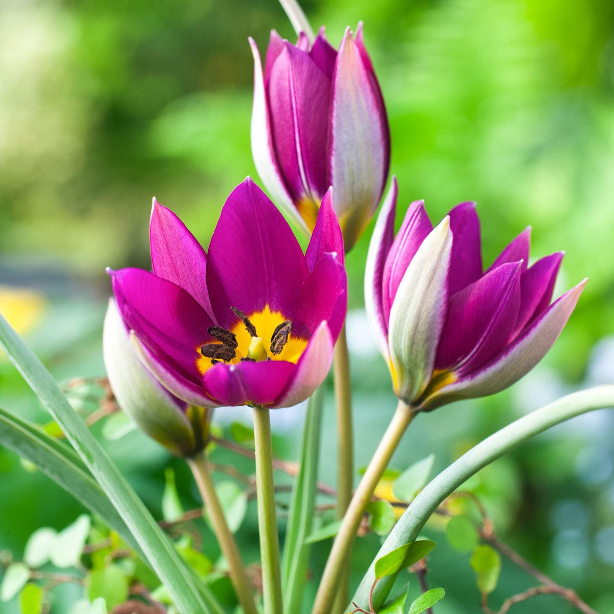 Tulpe Persian Pearl