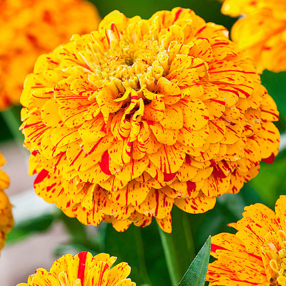 Zinniensamen Pop Art