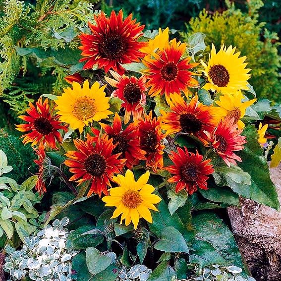 Sonnenblumensamen Paquito Mischung