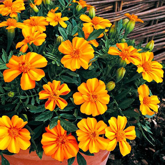 Tagetes Bambino Orange