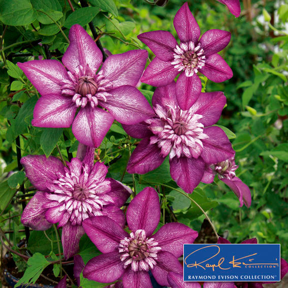 Clematis Cassis™