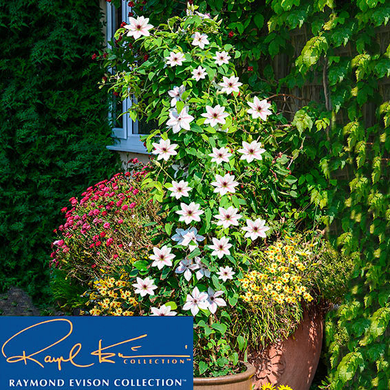 Clematis The Countess of Wessex BOULEVARD® PATIO