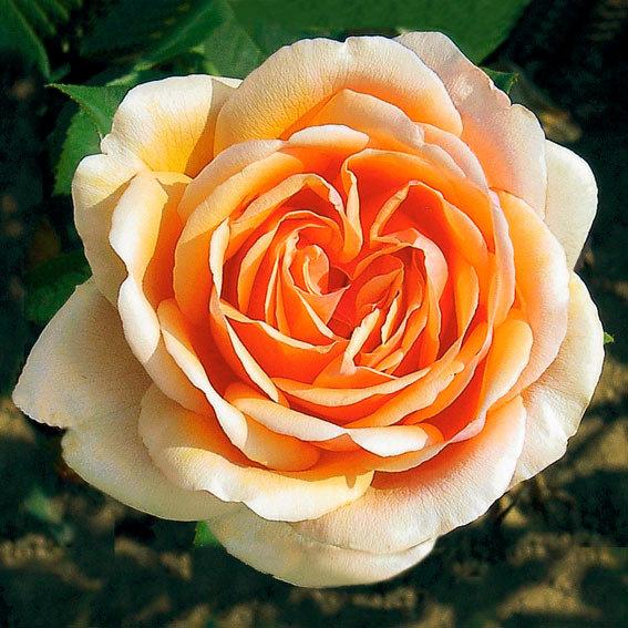 Meister-Rose® Cornelia Pötschke®