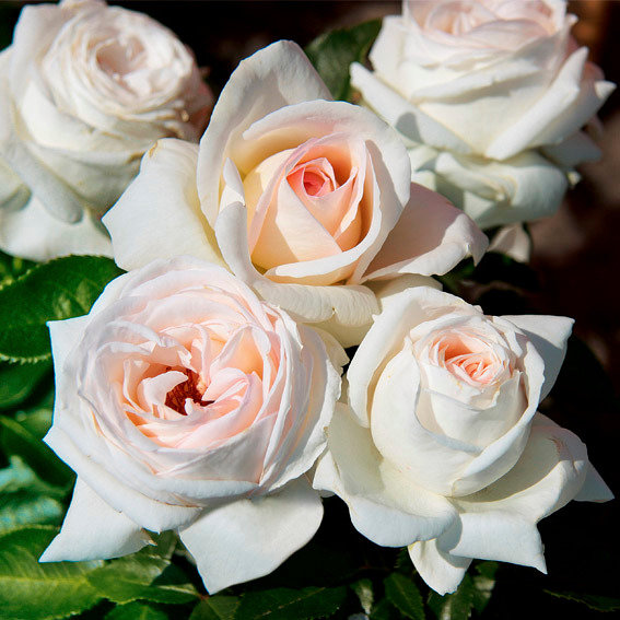 Rose Elvis®, im 5-Liter-Topf