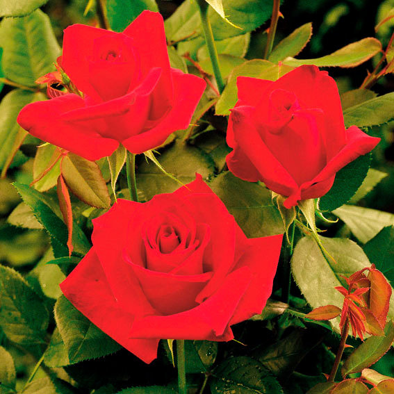 Meister-Rose® Opa Pötschke®