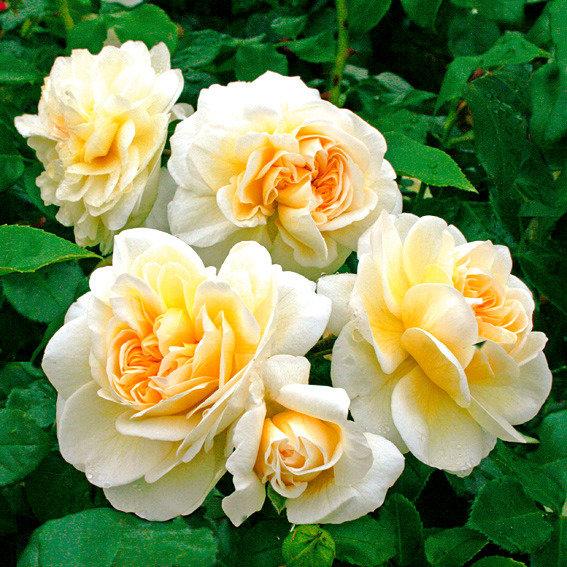 Nostalgische Rose Lady Romantica®, XL-Qualität