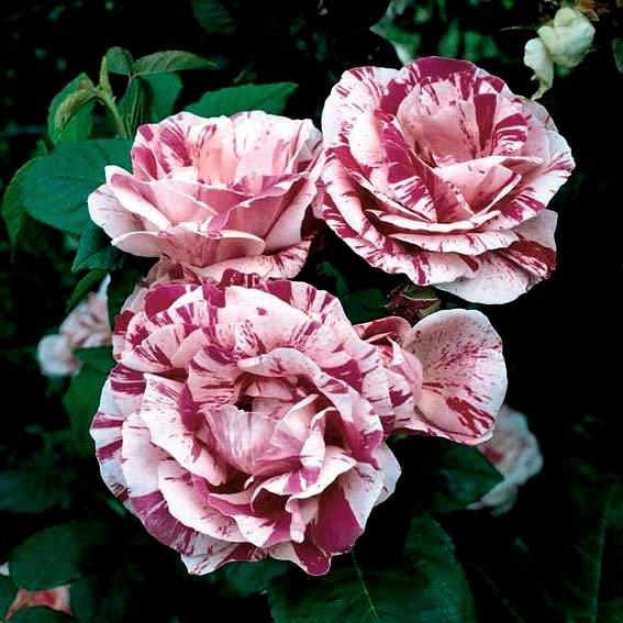 Rose Ferdinand Pichard, XL-Qualität