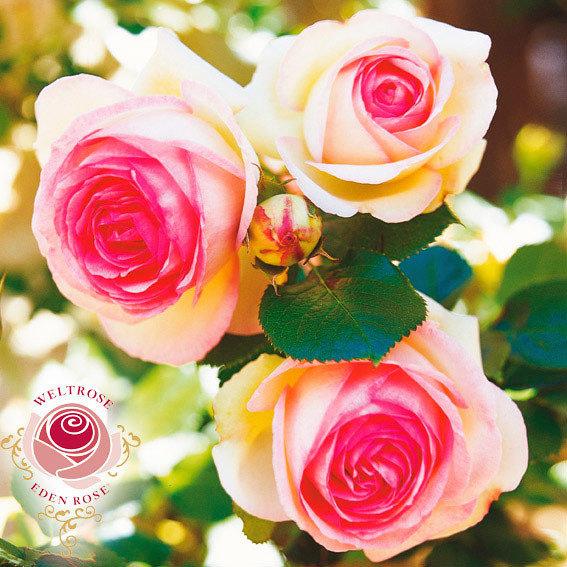 Rose Eden Rose®, 1 Stück