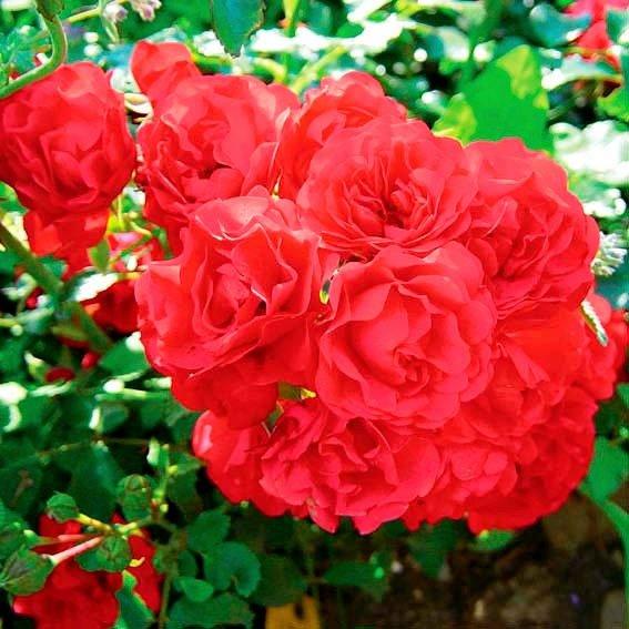 Rose Gärtnerfreude®
