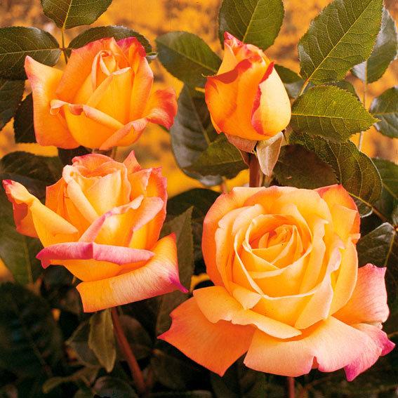 Rose Gloria Dei, XL-Qualität