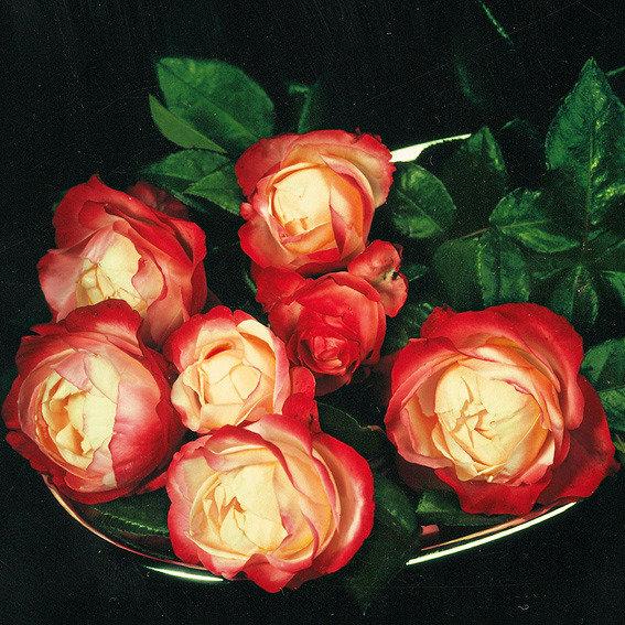 Rose Nostalgie®, im 3-Liter-Topf