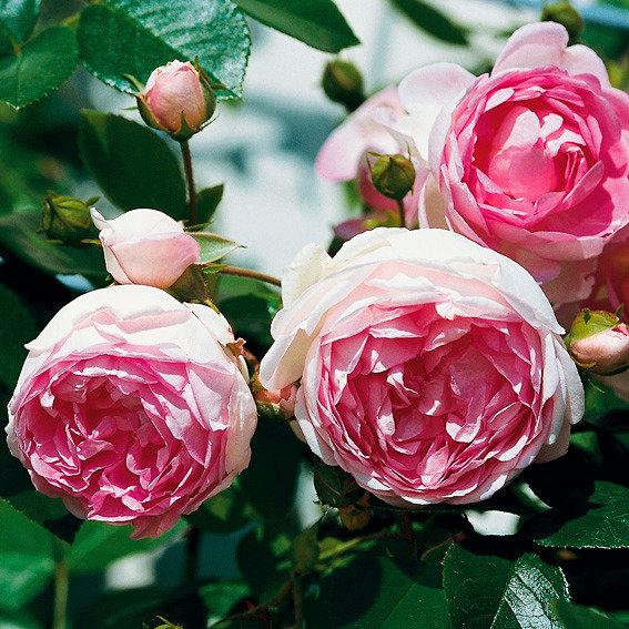 Rose Jasmina®, im 3-Liter-Topf