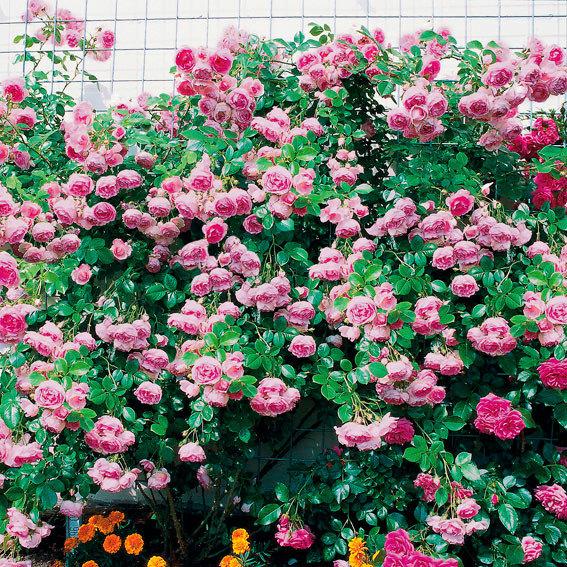 Rose Jasmina®, im 5-Liter-Topf